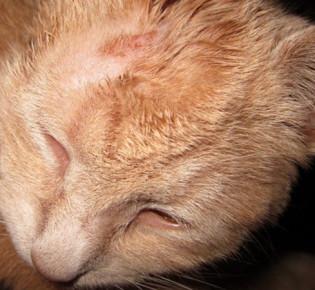 Трихофития у кошек: что такое, общие сведения, профилактика