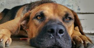 У собаки гной из носа: симптомы гайморита, как лечить гнойные выделения