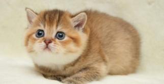 Как определить пол котенка: по возрасту, окрасу, голосу, весу, поведению