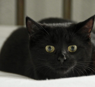 Бомбейская кошка: описание, уход и содержание