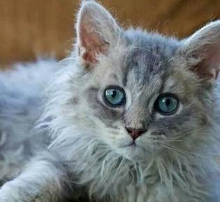 Лаперм кошка: фото, цена, описание