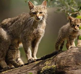 Американская короткошерстная кошка: описание, характер, уход