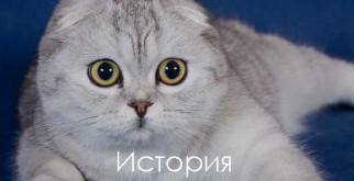 Шотландская вислоухая кошка: фото, описание, характер, факты