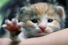 Чумка у кошек: симптомы и лечение в домашних условиях, опасность для человека