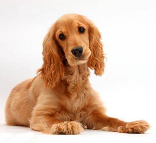 Английский кокер-спаниель:  фото, описание, характер, факты, плюсы и минусы собаки
