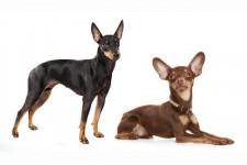 Той-терьер:  фото, описание, характер, факты, плюсы, минусы собаки