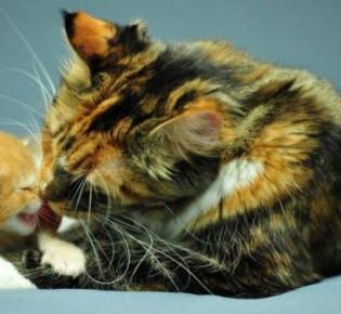 Черепаховый окрас кошек: разновидности, мистика, интеречные факты