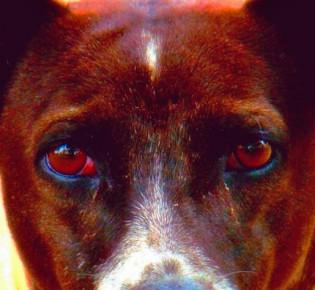 Гноятся глаза у собаки — чем и как можно вылечить дома