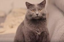 Шартрез кошка: описание, особенности, характер, цена