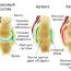 Артроз у собак: симптомы, лечение и профилактика