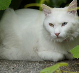 Анатолийская кошка: описание породы, характер, содержание