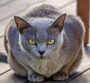 Бурманская кошка: описание, характер, уход