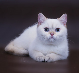 Белая кошка с голубыми глазами: описание, породы, особенности