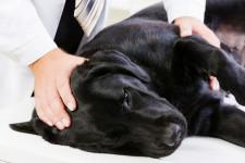 Эпилепсия у собак: симптомы и лечение, как прекратить приступы, препараты