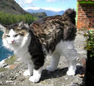 Американский бобтейл кошки: описание породы, содержание и уход