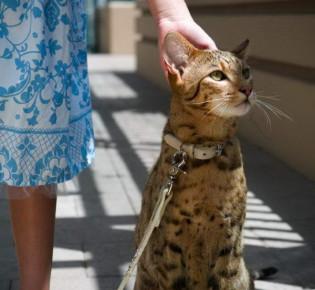 Кошка ашера: стандарты породы, содержание, уход