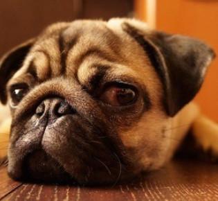 Кератит у собак: сколько длится, причины, лечение, восстановление глаза