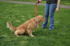 Цистит у собак: симптомы, лечение в домашних условиях, таблетки