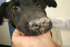 Чумка у собак: признаки, симптомы, лечение в домашних условиях