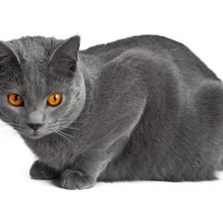 Окрас британских кошек: виды оттенков