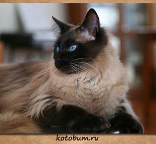Балинезийская кошка: описание, характер, кормление, уход