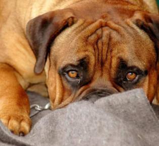 Трахеит у собак: симптомы и лечение заболевания