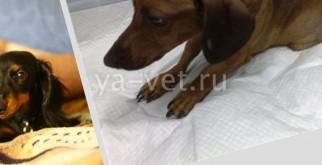 Дископатия у собак: симптомы и лечение без операции