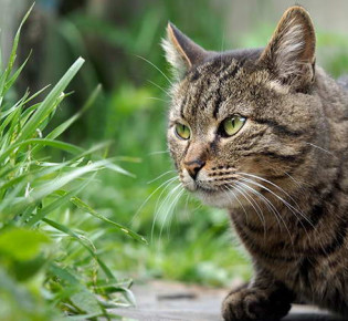 Трава для кошек: виды, польза, выращивание