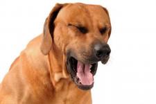 Почему собаку рвет после еды непереваренной пищей и что делать