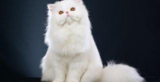 Персидская кошка: фото, стандарт и уход
