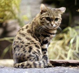 Черноногая африканская кошка:  фото, цена, содержание