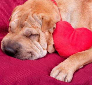 Сердечная недостаточность у собаки: симптомы и лечение