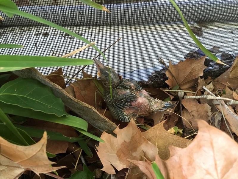 Если вы нашли выпавшего из гнезда птенца (фото)